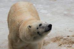 Ciérrese para arriba de un oso polar en el parque zoológico en invierno Fotos de archivo