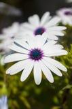 Ciérrese para arriba de un Osteospermum Blanco-púrpura durante la primavera Fotos de archivo