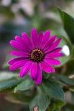 Ciérrese para arriba de un Osteospermum púrpura durante la primavera Fotografía de archivo