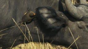 Ciérrese para arriba de un oxpecker en el cuello de un búfalo del cabo en masai Mara almacen de metraje de vídeo