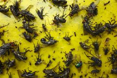 Ciérrese para arriba de un papel pegajoso amarillo con las porciones de moscas imagen de archivo