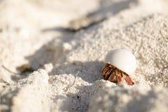 Ciérrese para arriba de un pequeño cangrejo de ermitaño en una cáscara blanca lisa en la cara de arrastre de la arena adelante Fotografía de archivo