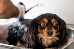 Ciérrese para arriba de un pequeño perro que tiene un baño fotografía de archivo libre de regalías