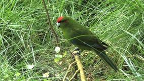 Ciérrese para arriba de un periquito coronado rojo metrajes