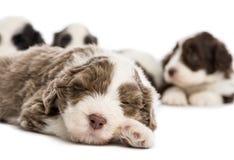 Ciérrese para arriba de un perrito barbudo del collie, 6 semanas de viejo fotos de archivo libres de regalías