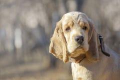 Ci?rrese para arriba de un perrito de oro hermoso de Cocker Spaniel que mira al lado foto de archivo