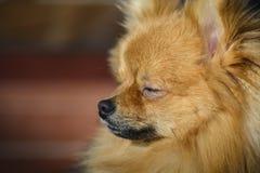 Ciérrese para arriba de un perro de Pomerania alemán contra fondo borroso fotografía de archivo libre de regalías