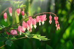 Ciérrese para arriba de un racimo de corazones sangrantes que crecen en la primavera Spectabilis del Dicentra en el corazón sangr foto de archivo libre de regalías