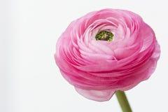 Ciérrese para arriba de un ranúnculo rosado brillante con las porciones de detalles hermosos imágenes de archivo libres de regalías