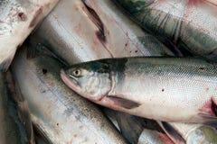 Ciérrese para arriba de un salmón de sockeye fresco Imágenes de archivo libres de regalías