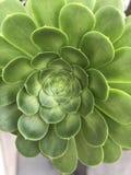 Ciérrese para arriba de un suculento verde gigante imagenes de archivo