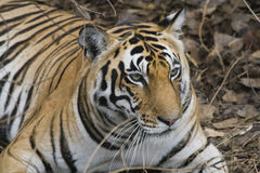 Ciérrese para arriba de un tigre de Bengala real Fotos de archivo libres de regalías