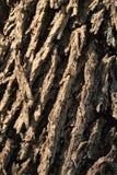 Ciérrese para arriba de un tronco de árbol de almendra Foto de archivo