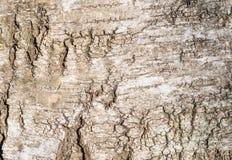 Ciérrese para arriba de un tronco del abedul Textura de la corteza Fotografía de archivo libre de regalías