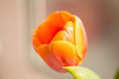 Ciérrese para arriba de un tulipán anaranjado Fotos de archivo libres de regalías