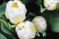 Ciérrese para arriba de un tulipán blanco con las gotas de agua en él fotografía de archivo
