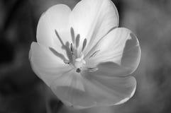 Ciérrese para arriba de un tulipán hermoso Imagenes de archivo