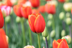 Ciérrese para arriba de un tulipán rojo con los bordes y los puntos culminantes amarillos de la naranja Fotografía de archivo libre de regalías