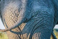 Ciérrese para arriba de un vago del elefante en Chobe Fotografía de archivo libre de regalías