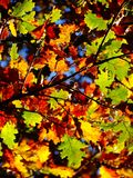 Ciérrese para arriba de un verde amarillo y de un follaje marrón en automn Fotografía de archivo