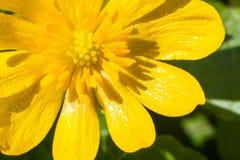 Ciérrese para arriba de un wildflower de la primavera fotografía de archivo