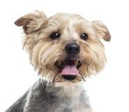 Ciérrese para arriba de un Yorkshire Terrier que jadea, aislado Fotografía de archivo