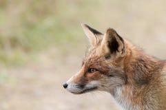 Ciérrese para arriba de un zorro rojo Imagenes de archivo