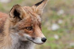 Ciérrese para arriba de un zorro rojo Foto de archivo libre de regalías