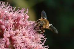 Ciérrese para arriba de una abeja 2 Fotografía de archivo libre de regalías