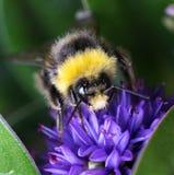 Ciérrese para arriba de una abeja Imágenes de archivo libres de regalías