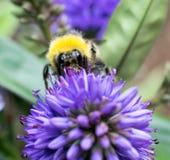 Ciérrese para arriba de una abeja Fotografía de archivo
