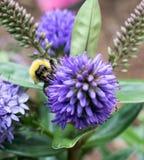 Ciérrese para arriba de una abeja Fotos de archivo libres de regalías