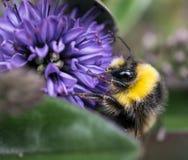 Ciérrese para arriba de una abeja Foto de archivo