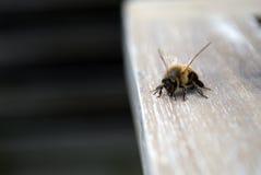 Ciérrese para arriba de una abeja curiosa Fotografía de archivo libre de regalías
