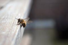 Ciérrese para arriba de una abeja curiosa Imagen de archivo