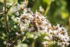 Ciérrese para arriba de una abeja de la miel que extrae la forma del néctar que las floraciones en un orégano plantan en jardín o Foto de archivo