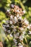Ciérrese para arriba de una abeja de la miel que extrae la forma del néctar que las floraciones en un orégano plantan en jardín o Fotos de archivo libres de regalías