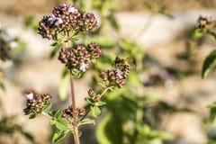 Ciérrese para arriba de una abeja de la miel que extrae la forma del néctar que las floraciones en un orégano plantan en jardín o Fotos de archivo