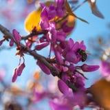Ciérrese para arriba de una abeja de trabajador que poliniza un flor Rosado-Púrpura-magenta del árbol de Redbud durante la primav Imágenes de archivo libres de regalías