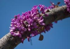 Ciérrese para arriba de una abeja de trabajador que poliniza un flor Rosado-Púrpura-magenta del árbol de Redbud durante la primav Fotografía de archivo libre de regalías
