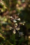 Ciérrese para arriba de una abeja de trabajador que poliniza una flor Rábano-articulada salvaje de Charlock durante la primavera Imagen de archivo libre de regalías