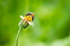 Ciérrese para arriba de una abeja de trabajo en una flor Imagen de archivo