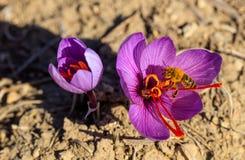 Ciérrese para arriba de una abeja en una flor del azafrán Fotografía de archivo libre de regalías