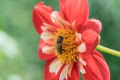 Ciérrese para arriba de una abeja en una flor roja y amarilla Foto de archivo