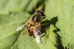 Ciérrese para arriba de una abeja en una hoja Fotos de archivo libres de regalías