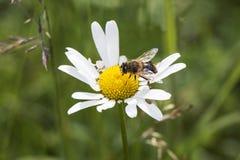 Ciérrese para arriba de una abeja en la flor con el prado verde en el fondo Fotografía de archivo libre de regalías
