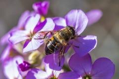 Ciérrese para arriba de una abeja en las flores púrpuras hermosas Fotos de archivo libres de regalías