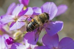 Ciérrese para arriba de una abeja en las flores púrpuras hermosas Foto de archivo