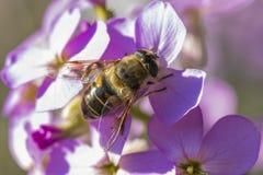 Ciérrese para arriba de una abeja en las flores púrpuras hermosas Fotos de archivo