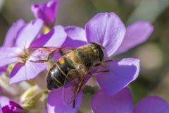Ciérrese para arriba de una abeja en las flores púrpuras hermosas Imagenes de archivo